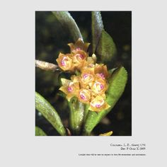 Fernandezia debedoutii