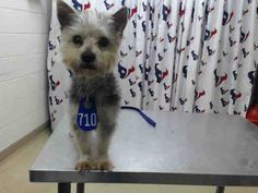 03/18/16--HOUSTON- -EXTREMELY HIGH KILL FACILITY - NO NAME - ID#A454995 My name is NO NAME I am a male, gray Schnauzer - Standard. My age is unknown. I have been at the shelter since Mar 18, 2016. This information was refreshed 35 minutes ago and may not represent all of the animals at the Harris County Public Health and Environmental Services.