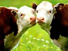 sweet cows!