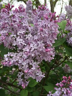 Lilacs in the back yard, smell like freshness and life woven together.