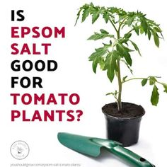 5 Unbelievable Things Epsom Salt Does For Tomato Plants Will Epsom salt help or hurt your tomato plants? Let's sort out fact from fiction. Find out how this common myth might actually be hindering your garden Epsom Salt Tomato Plants, Epsom Salt For Tomatoes, Planting Vegetables, Organic Vegetables, Growing Vegetables, Veggies, Varieties Of Tomatoes, Growing Tomatoes In Containers, Grow Tomatoes