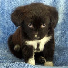Border line Collie pup. So sweet.