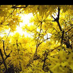 58 Best Forsythia Images Forsythia Wreath Forsythia