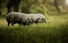 El cerdo ibérico en la dehesa, el único sistema de fabricación de jamones ibéricos puros de bellota con denominación de origen que garantiza su pureza y alimentación  http://www.todoextremadura.com