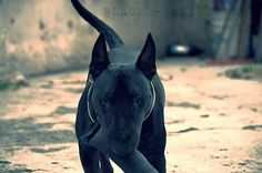 Black bully