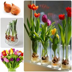 Tulips are effortlessly elegant and can easily brighten homes with their vibrant array of colors. While tulips naturally grow in rich soils, there is a way to bring bulbs to bloom indoors without even an inch of dirt! Here are the simple steps how to grow them in vases. You may need to exercise just