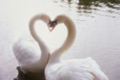 These showy swans. The 25 Most Romantic Animals That Ever Lived Animals Of The World, Animals For Kids, Cute Animals, Pretty Animals, Swans, Romantic Animals, Rare Birds, Perfect Love, Most Romantic