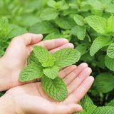 Remedies For Migraine menthol for migraine - Concerned about side effects from OTC pain relievers? New evidence for treating migraines with menthol and peppermint oil says it's just as effective. Migraine Relief, Peppermint Oil Benefits, Estilo Tribal, Le Psoriasis, Troubles Digestifs, Essential Oils For Pain, Natural Headache Remedies, Natural Medicine, Medicinal Plants