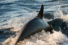 Norwegian orcas