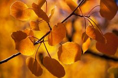Amber aspen leaves glow in the late afternoon sun