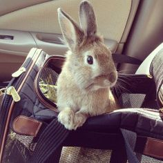 Good Afternoon Every Bun! #TravelTuesday Does anyone ever take their #bunnies on journeys?