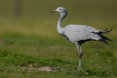 South Africa's national bird is the elegant blue crane © Ashwell Glasson