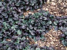 Also known as bugle weed, ajuga is a matting groundcover that grows only 6 inches tall in shades of purple, green and pink. In early summer, it sends up spikes of blue, lavender, or pink flowers. Great for rock gardens, too.