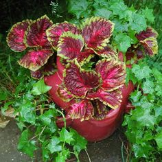 "Strawberry pots are great for planting strawberries, but they are also wonderful for many other plants. A combination of coleus, ""Big Red Judy."" and English ivy make for a container garden that presents a strong visual statement. This container garden is easy to care for and thrives in shade or partial shade."