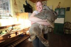 This gigantic rabbit is just a hare under 55 pounds. Ralph, a Continental Giant from the United Kingdom, reclaimed the Guinness World Record for the largest rabbit -- a title he took from a bunny that outweighed him in according to Fairfax News. Giant Animals, Large Animals, Large Rabbits, Bunny Rabbits, Funny Animals, Cute Animals, Funny Pets, Giant Rabbit, Tallest Dog