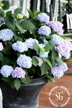 "PLANTING HYDRANGEAS IN POT AND URNS - Use ""The Original""  Endless Summer Collection hydrangea, blooms from spring to fall, use Miracle Grow Moisture Control Potting Soil, use time released fertilizer in bottom of hole, plant with base of the plant level with the top of the potting soil, blooms on old and new growth, so keep pruning to a minimum, deadhead to promote new blooms, grow in partial sun, keep well-watered, but not soggy"