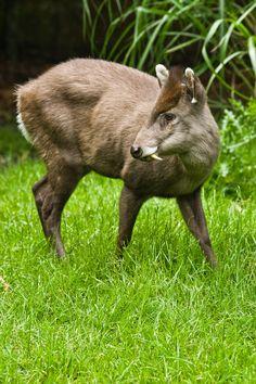 tufted deer Dumb Animals, Zoo Animals, Unusual Animals, Wild Animals, Water Deer, Deer Family, Cute Creatures, Animals Of The World, Animal Photography