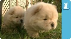 Fluffy Golden Chow Chow Puppies - Puppy Love, via YouTube.