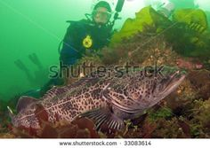 stock photo by Greg Amptman: Diver with ling cod