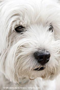 Zar, un guapo Westie. http://www.srperro.com/blog_perro/encuetros-perrunos-en-el-retiro-zar