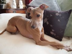 Theo on the sofa lying on a Merino Wool Comforter - 100% fluffy Merino Wool pile - just heavenly!