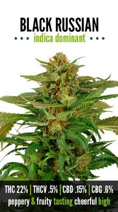 Black Russian | Repined By 5280mosli.com | Organic Cannabis College | Top Shelf Marijuana | High Quality Shatter