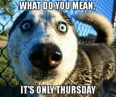 - Funny Dog Quotes - What do you mean Its only Thursday! Funny Husky Meme Funny Husky Quote What do you mean Its only Thursday! Funny Dog Quotes The post What do you mean Its only Thursday! appeared first on Gag Dad. Husky Humor, Husky Quotes, Funny Husky Meme, Dog Quotes Funny, Funny Picture Quotes, Funny Animal Pictures, Funny Dogs, Dog Memes, Funny Memes