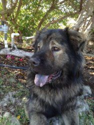 Fritz is an adoptable Chow Chow Dog in San Diego, CA. Where do we begin with all the wonderful things we know about Fritz? To start, he's spending his days in nights in a loving foster home, so he's g...