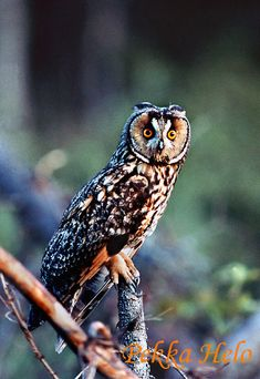 Image result for sarvipöllö Owl Pics, Owl Pictures, Baby Owls, Birds Of Prey, Beautiful Birds, Ducks, Funny, Animals, Image