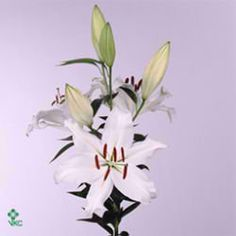 Alma Ata 'Oriental' White lilies are great for flower arrangements for weddings and events! Creating a natural and textured look! Head over to www.trianglenursery.co.uk for more information! Great wholesale prices!