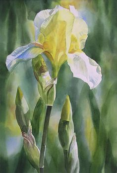 Yellow Iris With Buds Painting by Sharon Freeman - Yellow Iris With Buds Fine Art Prints and Posters for Sale
