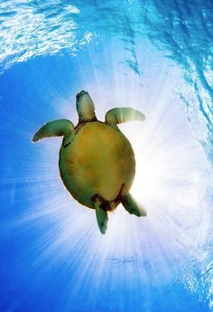 Sea turtle - Loggerheads are the most common species of sea turtle. These mellow giants, which can weigh up to 400 pounds, enjoy the temperate and sub-tropical waters of the Atlantic, Pacific, and Indian oceans.