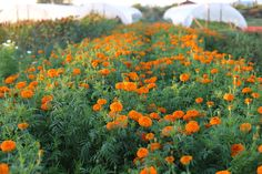 Learn more about how Zinnias, Cosmos, Celosia, Basil and other heat-loving flowers and foliage are great additions to your cut flower garden. Cut Flower Garden, Flower Farm, Landscaping Tips, Garden Landscaping, Succession Planting, Zinnias, Drought Tolerant, Marigold, Holiday Wreaths