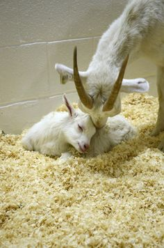 Baby goat and mom are saved from slaughter by Farm Sanctuary! They love each other.