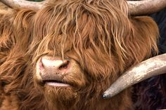 Some of my favorite pictures from Scotland! Here's Hamish, the Highland Coo Highland Cattle, Scotland Travel, Free Travel, Travel Pictures, History, Blog, Kids, Travel Photos, Young Children