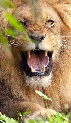 Brullende leeuw, beetje aggressief maar wel een mooie leeuwen foto