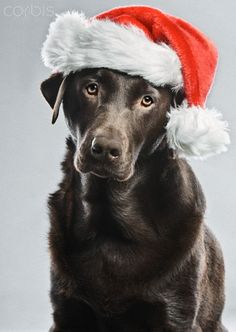 labrador christmas | Chocolate Labrador in Christmas Hat - 42-27153229 - Rights Managed ...