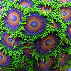 Orange & Green Zoanthids