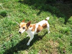 Petfinder  Adoptable | Jack Russell Terrier | Dog | New Cumberland, WV | GIZMO