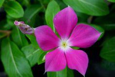 I uploaded new artwork to fineartamerica.com! - 'Periwinkle Flower' - http://fineartamerica.com/featured/periwinkle-flower-lanjee-chee.html