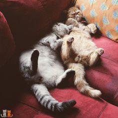 Happy Friday!  #exoticshorthair #cat #cute #flatface #kitten #meow #pet #mreggs #catlover #exoticsofinstagram #smushface #weeklyfluff #sirpumpkin  #bromance #gingercat #sleeping