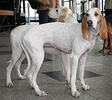 Porcelaine - A.k.a. Chien de Franche-Comte - France. This breed is believed to be the oldest of the French scent hounds.