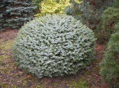 Picea sitchensis 'Tenas'. Hoogte : 75 cm