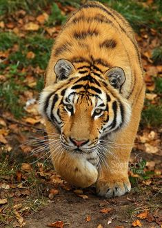 TOP 77 Pictures of Tigers