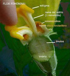 Flor de calabacín hembra