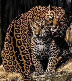 Mama n baby leopards