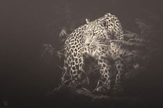 German photographer Manuela Kulpa creates hauntingly beautiful artworks with endangered species from photographs taken at zoos and wildlife parks. Manuela says,