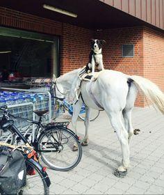 """Kommt ein Pferd zu Aldi… Auf dem Rücken des Schimmels thront ein treuer Hund – wie zwei Stadtmusikanten von Hannover... So lustig ist das Duo gestern zum Einkaufen auf der Bult galoppiert!Mit dem Handy abgedrückt hat Ute Krüger-Pöppelwiehe. """"Ich stand gerade bei Aldi in der Lindemannallee an der Kasse, als plötzlich nichts mehr ging, alle innehielten. Kunden und Kassierer starrten zum Fenster hinaus"""", berichtet die CDU-Politikerin. Und weiter: """"Uns blieb die Spucke weg, dann mussten alle…"""