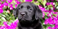 Cachorro Labrador Retriever Helvet Can