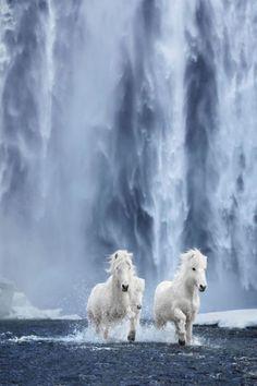 Pictures similar to fairytale horses living in extreme conditions in Iceland - animais - İmages Most Beautiful Horses, All The Pretty Horses, Animals Beautiful, Cute Horses, Horse Love, Horse Photos, Horse Pictures, Wild Pictures, Animals And Pets